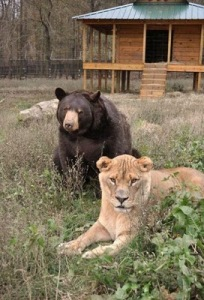 Brothers 08 Foto foto Persaudaraan Antara Beruang, Singa Dan Harimau (Bagaimana Bisa?)